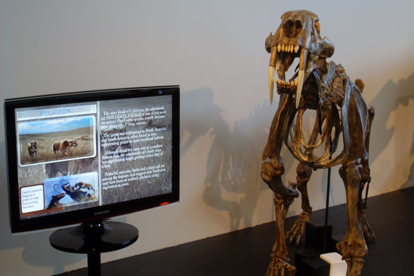 A smilodon on display at the Fossil Discovery Center in Chowchilla, Calif.